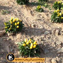 بذر فلفل زینتی زرد پا کوتاه  F2  بسته ۱۰ گرمی