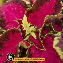 بذر حسن یوسف Fairway Rose ساکاتا بسته 1000 تایی