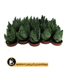 بذر Aloe Acculeata v Crousianus بسته ۵۰۰۰ تایی