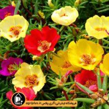 بذر گل ناز آفتابی بسته بندی خانگی