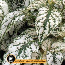 بذر گلسنگ Splash Select White  پن امریکن ۲۰۰۰ تایی