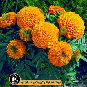 بذر جعفری Antigua Orange مولر