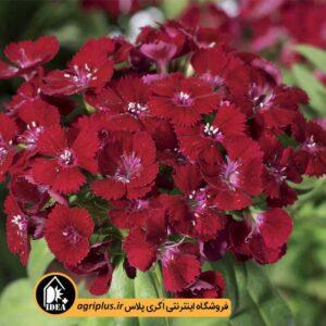 بذر قرنفل Barbarini Red سینجنتا