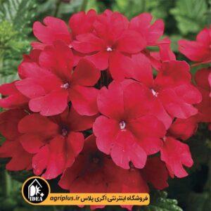 بذر شاهپسند Tuscany Scarlet سینجنتا