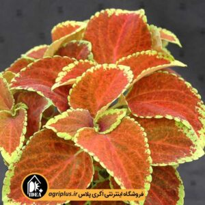 بذر حسن یوسف Fairway Orange ساکاتا