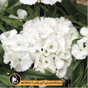 بذر قرنفل Barbarini White سینجنتا
