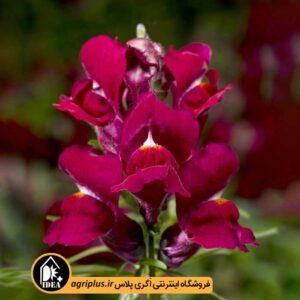 بذر میمون Snaptini Violet سینجنتا