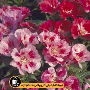 بذر گل ریحانی یا گودتیا Godetia Mix ساکاتا