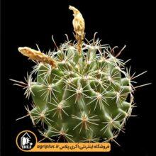 بذر ۵۰۰۰Hamatocactus Hamatacanthus Sinuatus تایی