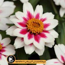بذر آهار Star Light Rose مولر بسته ۵۰۰ تایی