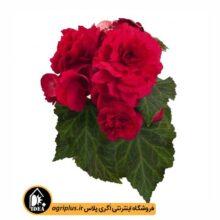 بذر بگونیا Non Stop Deep Rose مولر بسته ۱۰۰۰ تایی