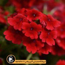 بذر شاهپسند Quartz Scarlet پن امریکن بسته۱۰۰۰ تایی