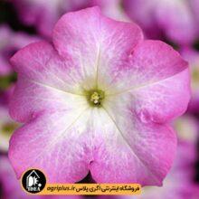 بذر اطلسی Tritunia Pink Morn سینجنتا ۱۰۰۰ تایی