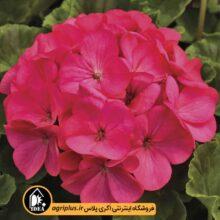 بذر شمعدانی Maverick Rose سینجنتا بسته ۱۰۰۰ تایی
