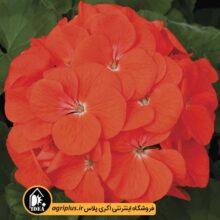 بذر شمعدانی Maverick Orange سینجنتا بسته ۱۰۰۰ تایی