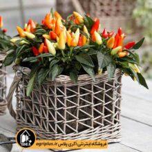 بذر فلفل زینتی دورنگ قرمز و زرد  F2  بسته ۱۰ گرمی