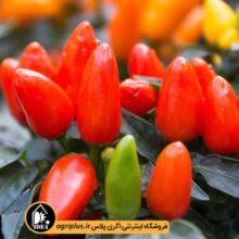 بذر فلفل زینتی قرمز پا کوتاه F2 بسته ۱۰ گرمی