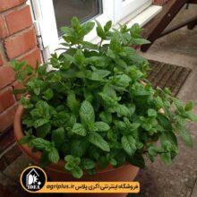 بذر نعنا گلدانی Mentha Piperita مولر بسته ۵ گرمی
