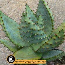 بذر Aloe Marlotti بسته ۵۰۰۰ تایی