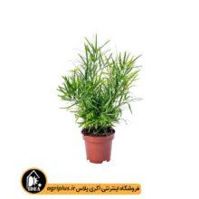 بذر آسپاراگوس Asparagus Falcatus بسته ۱۰۰۰ تایی