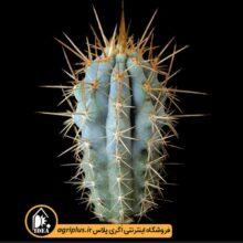 بذر Azureocereus Hertlingianus بسته ۱۰۰۰۰ تایی
