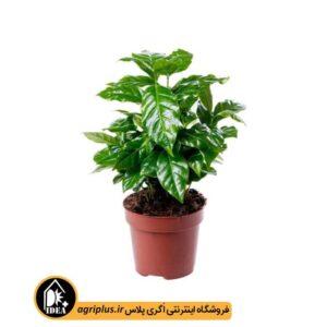بذر قهوه زینتی Coffea Arabica Nana