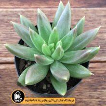 بذر Echeveria Tolimanensis Green بسته ۱۰۰۰۰تایی