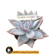 بذر Echeveria Agavoides Colorata بسته ۱۰۰۰۰ تایی