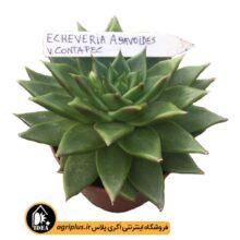 بذر Echeveria Agavoides Contapc بسته ۱۰۰۰۰ تایی