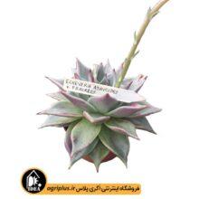 بذر Echeveria Agavoides Freckles بسته ۵۰۰۰ تایی