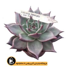 بذر Echeveria Agavoides Red Ends بسته ۵۰۰۰ تایی