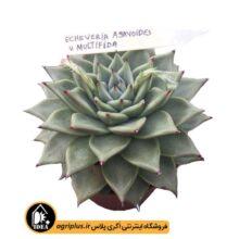 بذر Echeveria Agavoides V. Multifida بسته۱۰۰۰۰تایی