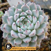 بذر Echeveria Cuspidata V. Menchaca بسته 5000تایی