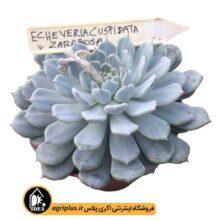 بذر Echeveria Cuspidata Zaragoza بسته ۱۰۰۰۰ تایی