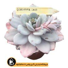 بذر Echeveria Lauii بسته ۱۰۰۰۰ تایی