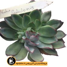 بذر Echeveria Pulidonis بسته ۱۰۰۰۰ تایی