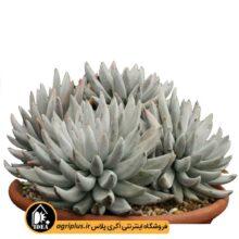 بذر Echeveria Tolimanensis Grey/Silver بسته ۱۰۰۰۰