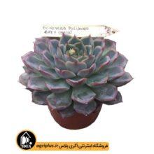 بذر Echeveria tolimanensis grey بسته ۱۰۰۰۰ تایی