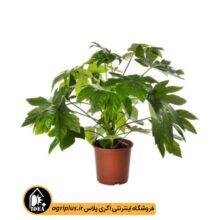بذر آرالیا Fatsia Japonica بسته ۱۰۰۰ تایی