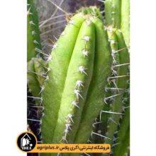 بذر Gymnanthocereus Pilleifer بسته ۱۰۰۰۰ تایی
