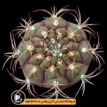 بذر Gymnocalycium Pflanzii بسته ۱۰۰۰۰ تایی