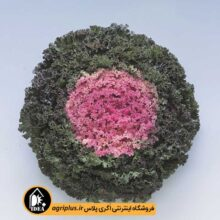 بذر کلم زینتی فر Kamome pink تاکی بسته ۲۰۰۰ تایی