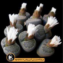 بذر Lithops Salicola بسته ۱۰۰۰۰ تایی