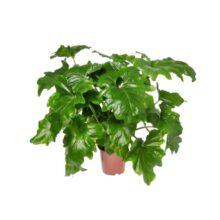 بذر برگ انجیری Philodendron Selloum بسته ۵۰۰۰ تایی