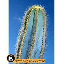 بذر Pilosocereus Magnificus بسته ۱۰۰۰۰ تایی