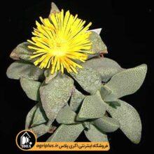بذر Pleiospilos Magnipunctatus بسته ۹۰۰۰ تایی