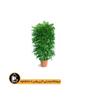 بذر درختچه زمرد Radermachera Sinica
