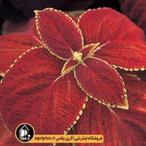 بذر حسن یوسف برگ متوسط Rusti Red