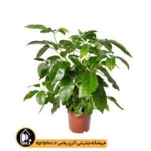 بذر شفلرا Schefflera Actinophylla