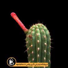 بذر Seticereus Roezlii بسته ۱۰۰۰۰ تایی